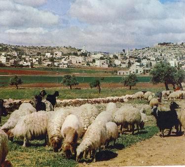 Pastirsko polje2